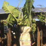 Tonga | Vavau Group  - Neiafu - Agriculture Show - 11